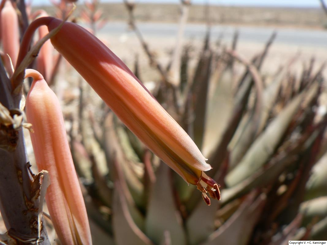 Aloe falcata